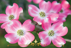 Flowering Dogwood Scented Candles