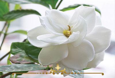 Gardenia Lily