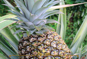 Pineapple Scented Candles