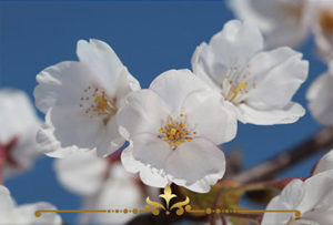 White Cherry Blossom Scented Candles